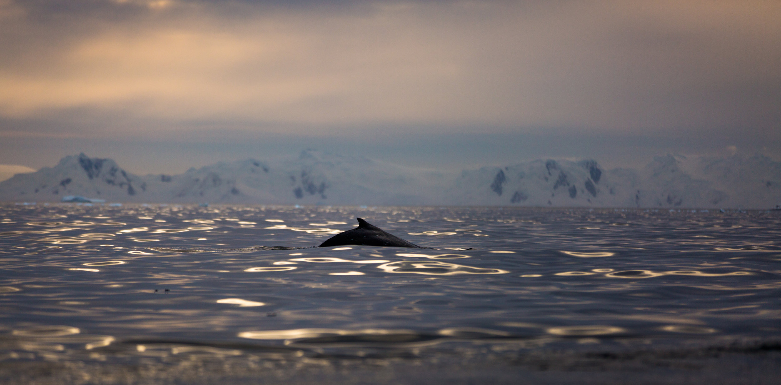 Filming humpback whales in Antarctica on board One Ocean Expeditions a few months earlier. See 'The Friendly Whale' blog article to learn more. (Humpback whales are much more playful than fin whales).