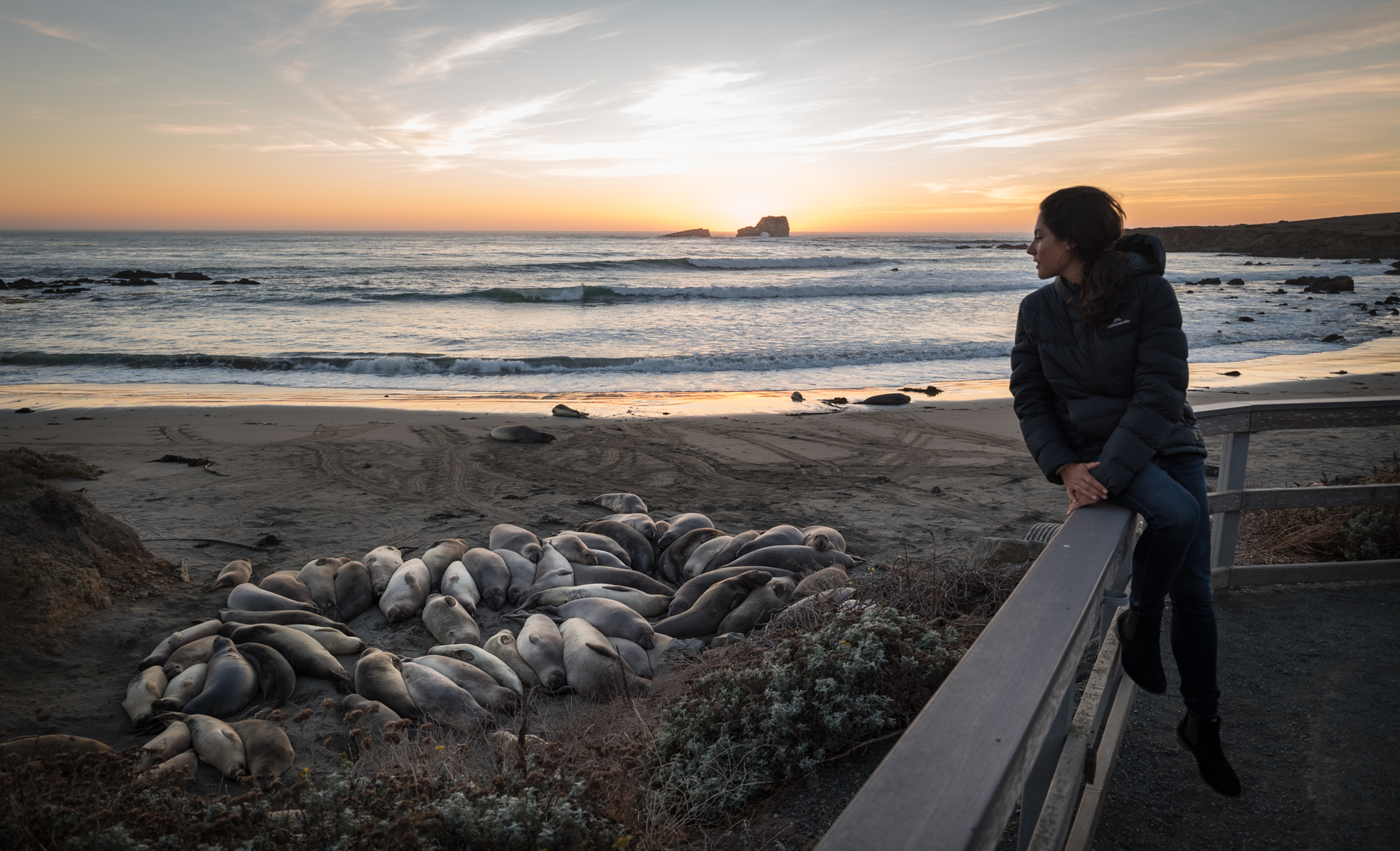 A colony of elephant seals near Hearst Castle, California. Their population size has bounced back, since they were officially protected.