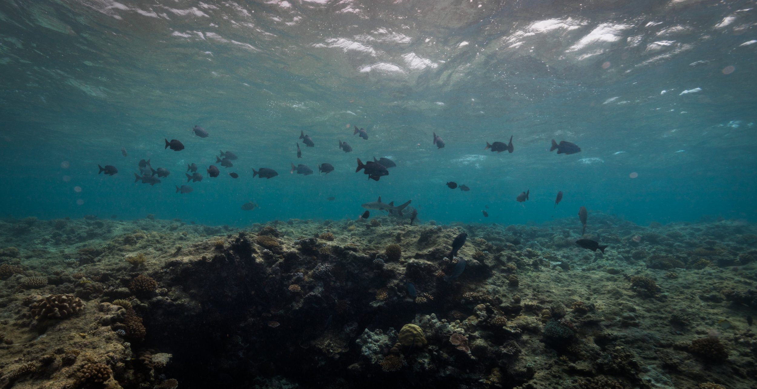 A wide angle shot of a reef shark.