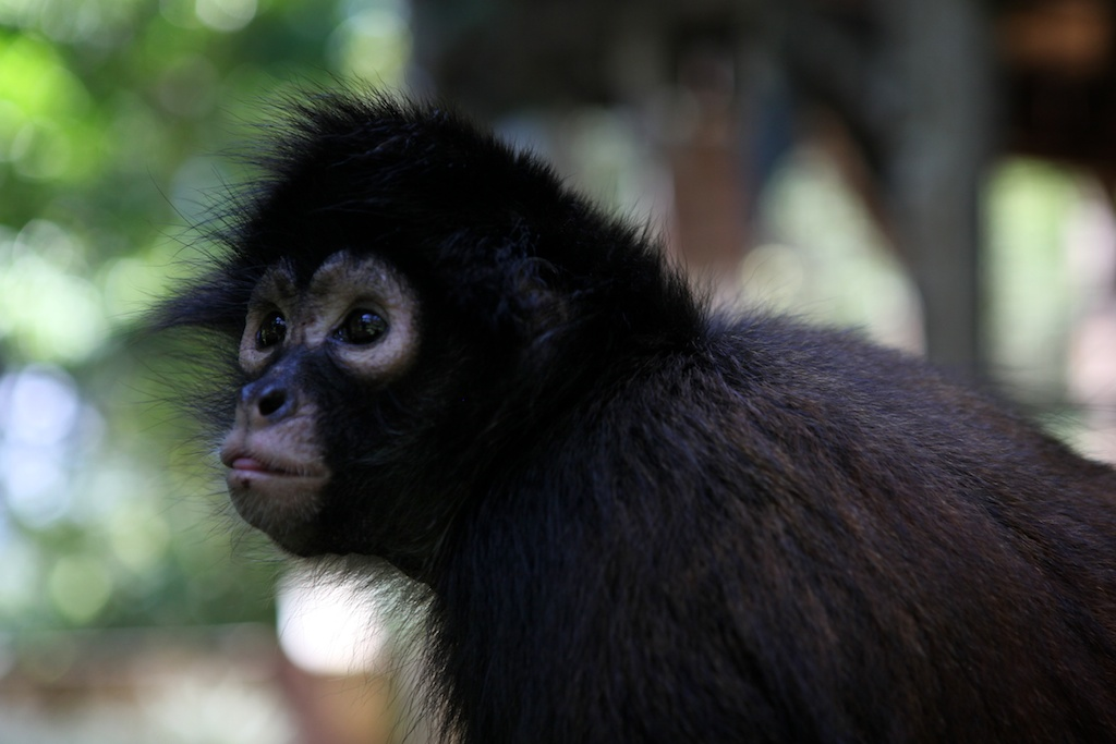 A rescued spider monkey from the pet trade.