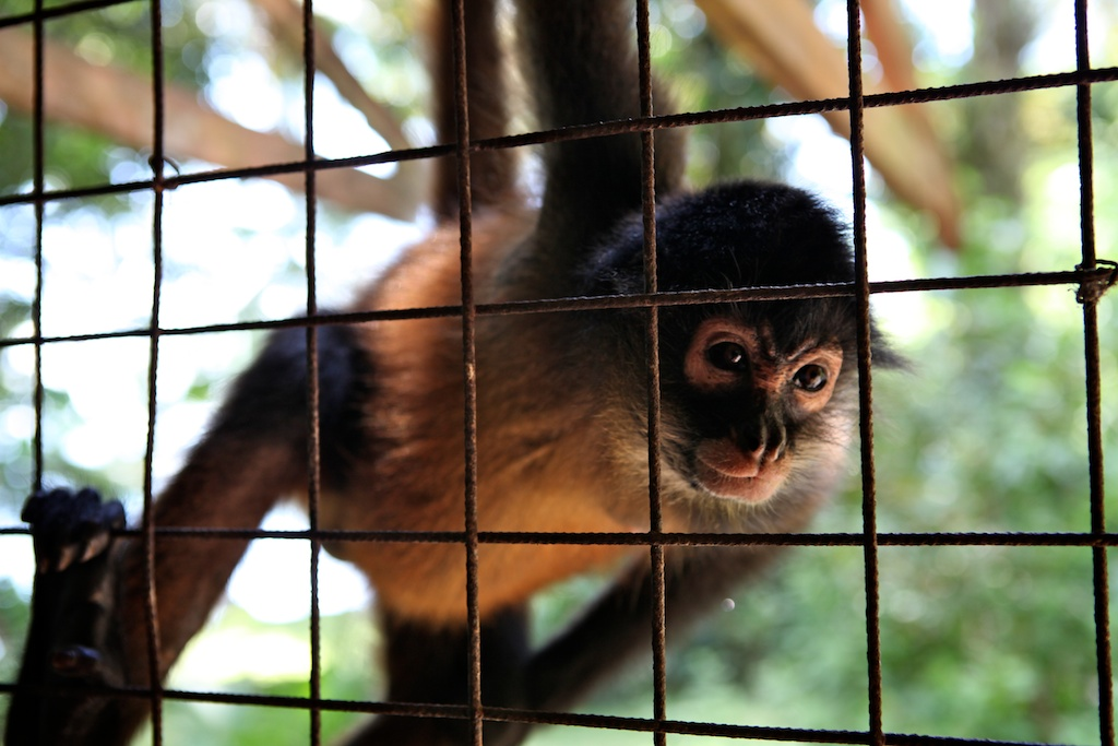 Osa Wildlife Sanctuary cares for many rescued animals.