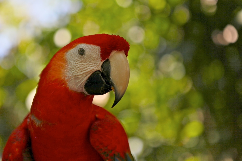 A macaw rescued from the pet trade.