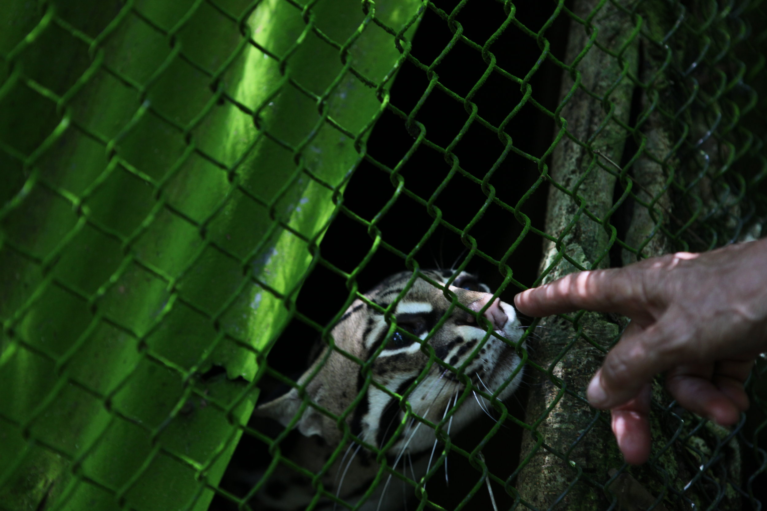 A rescued ocelot from the pet trade.