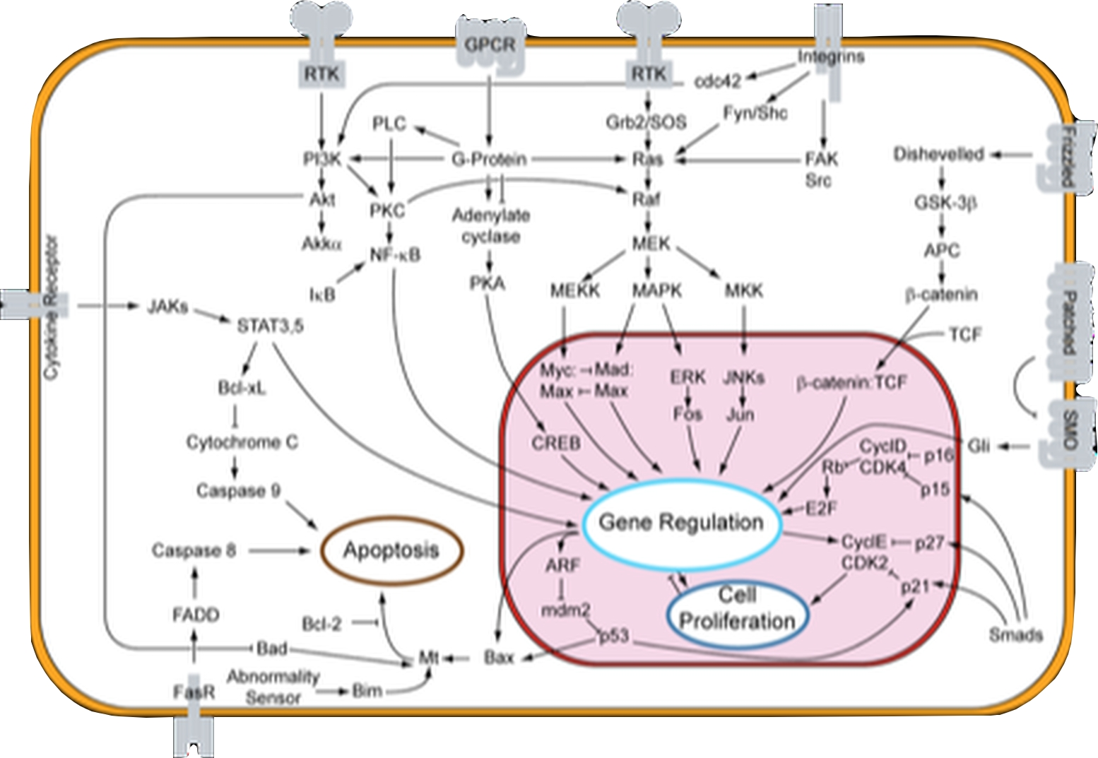 Overview of signal transduction pathway.  Ciick on image to expand