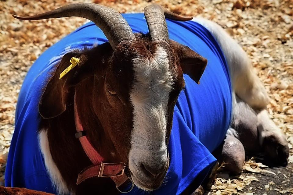 Louisville, KY - Goat Races