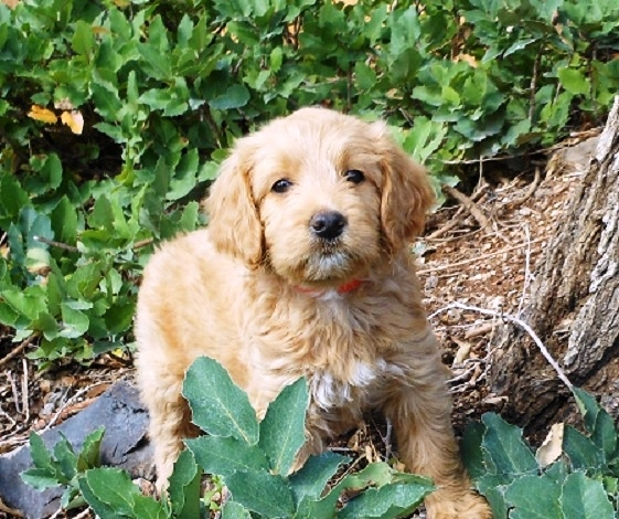 What Is A Goldendoodle Spiced Doodles