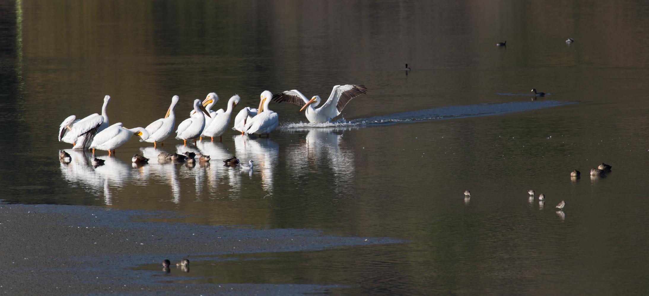 White Pelicans at Lake Chabot