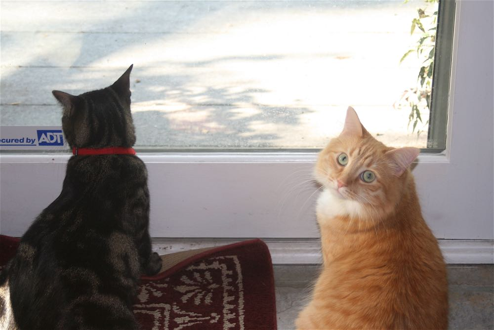 Two of the furry residents watching lizards on Bluebird Gardens deck.