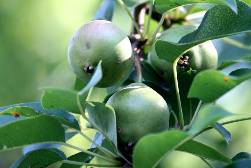 Bluebird Gardens pears not quite ready for picking.