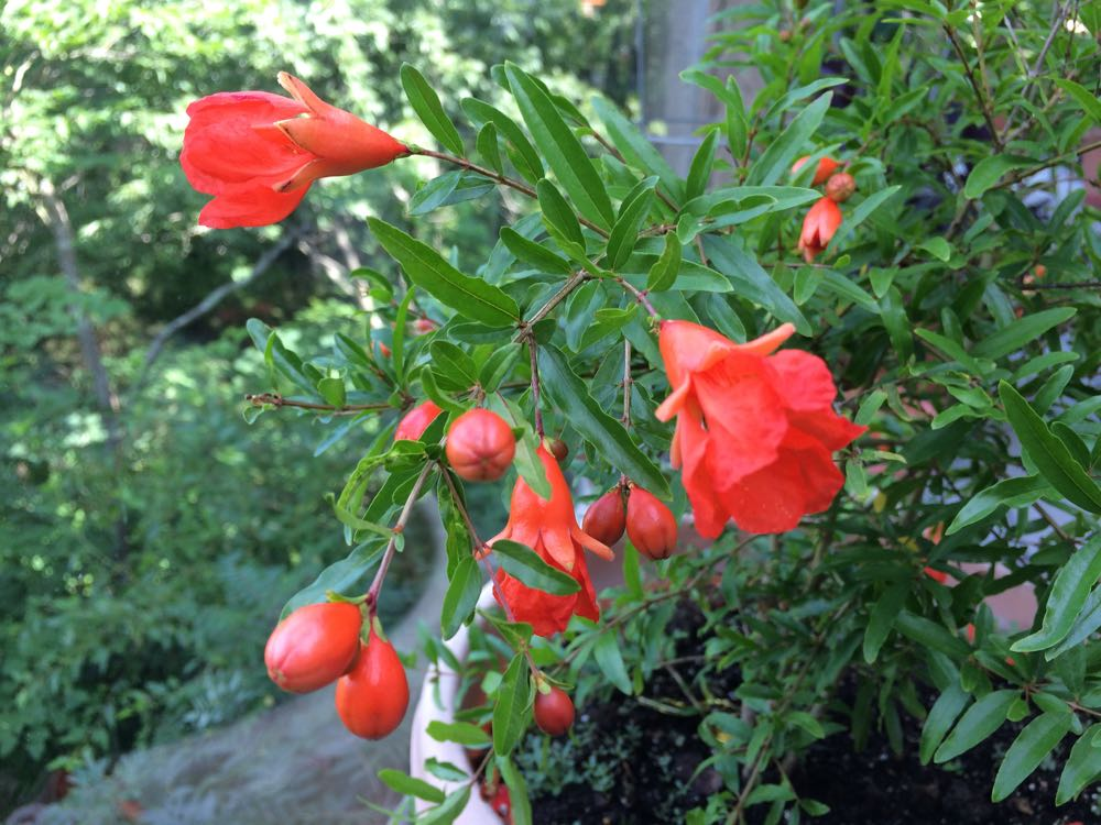 My pomegranate bush in bloom with lovely orange flowers that remind me of fuchsias.