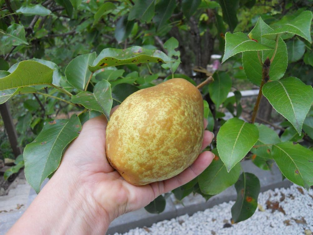 My one Bartlett pear in 2016 from my pear tree at Bluebird Gardens.