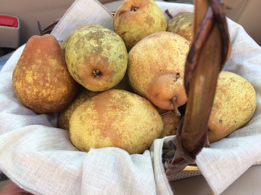 A variety of pears, some ready to eat, others still green, are a good variety.