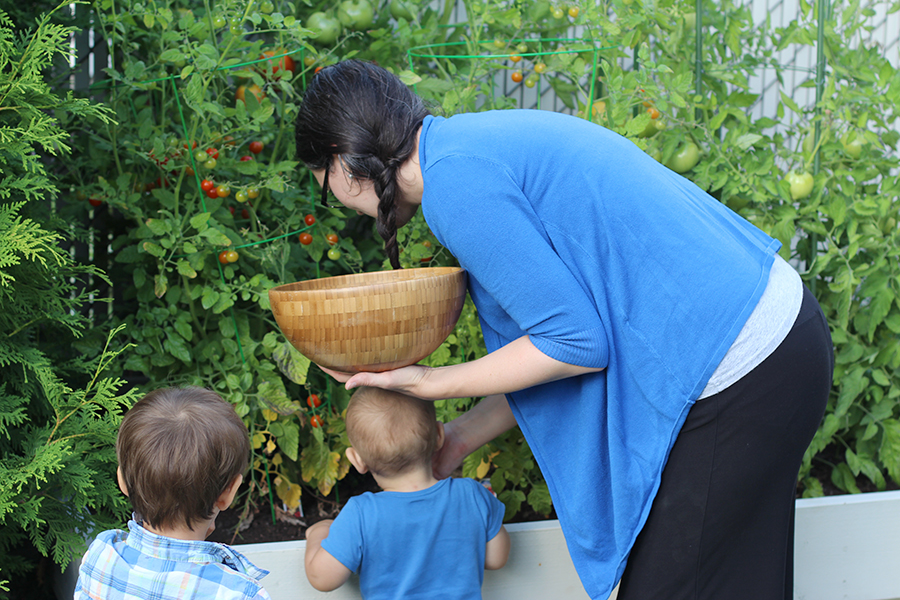 Picking cherry tomatoes with kids is fun but you they end up eating more than you pick.