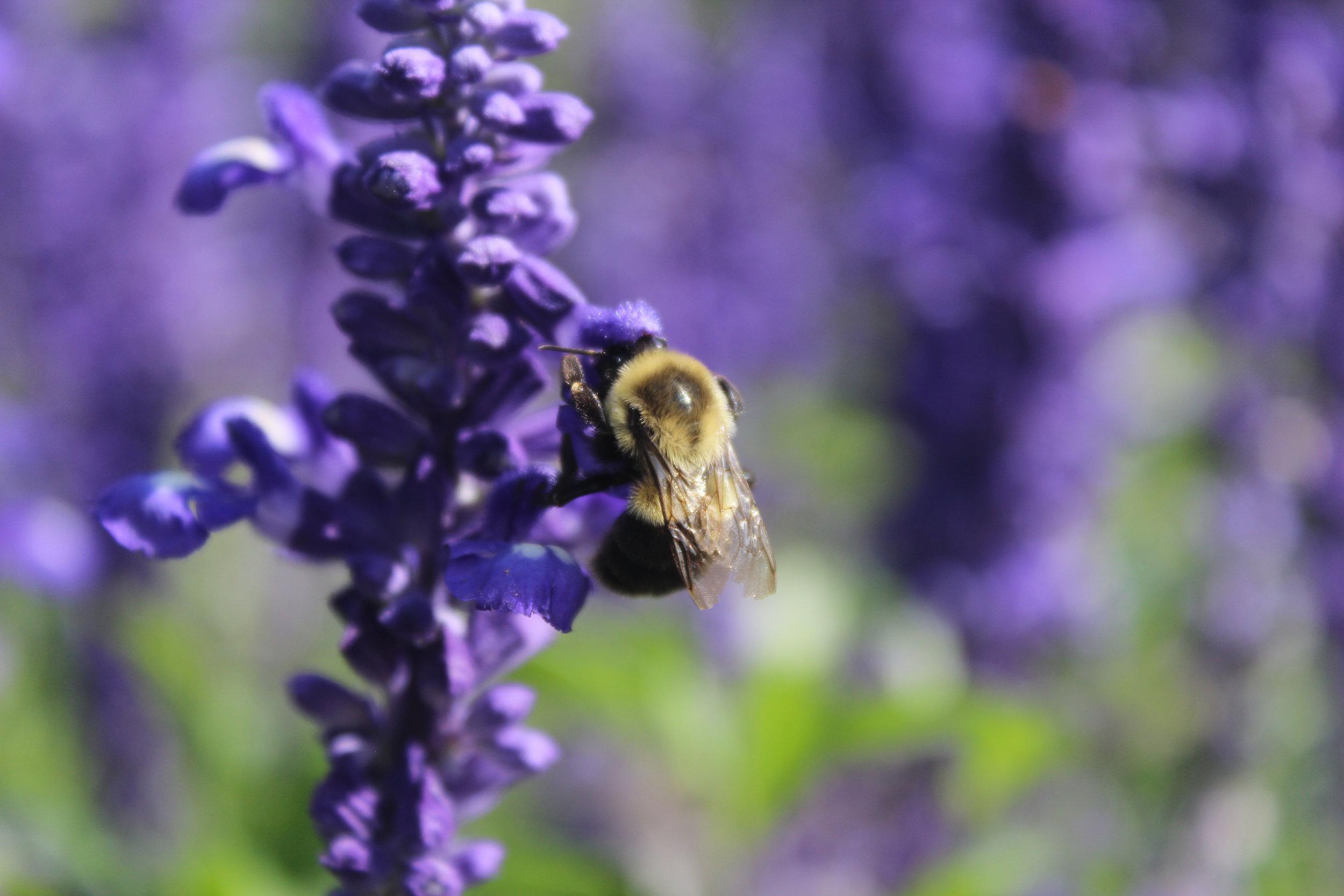 bee on purple flower.JPG