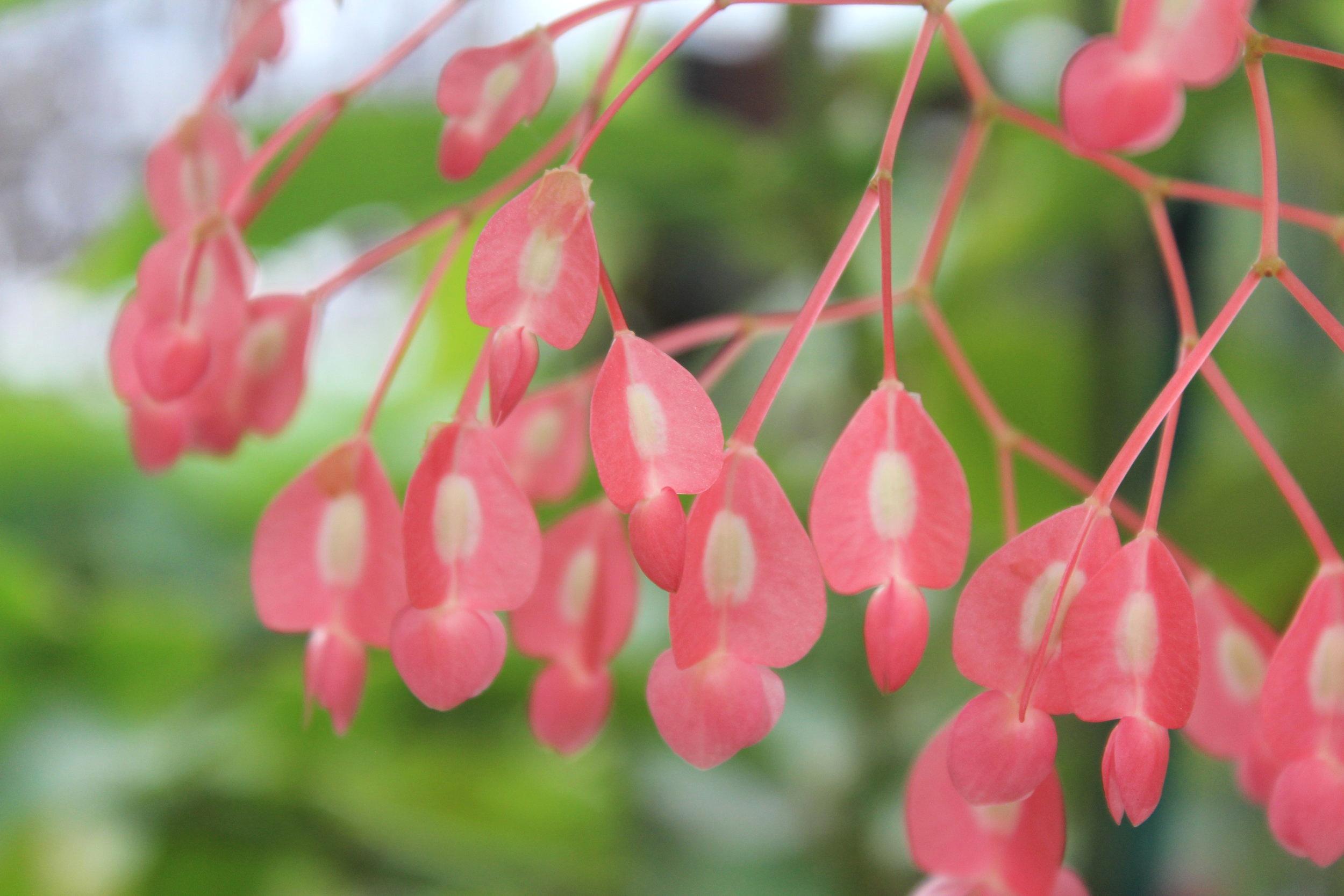 heart shaped pink flowers at garden.jpg