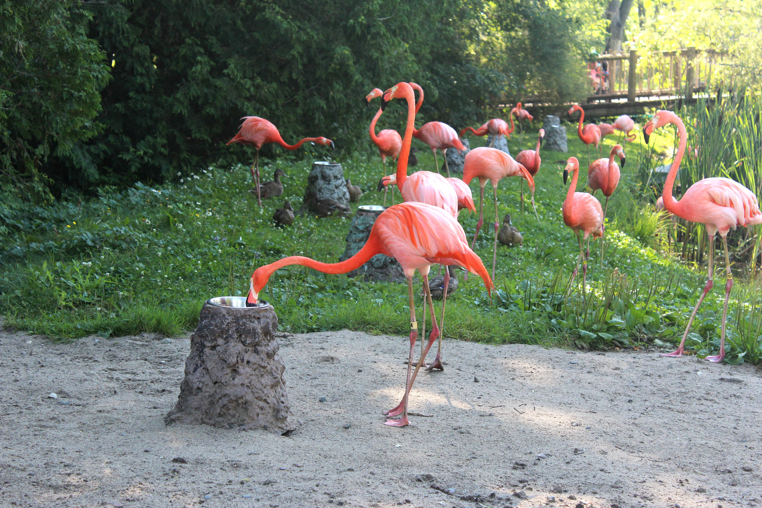 grandby zoo flamingos quebec.jpg