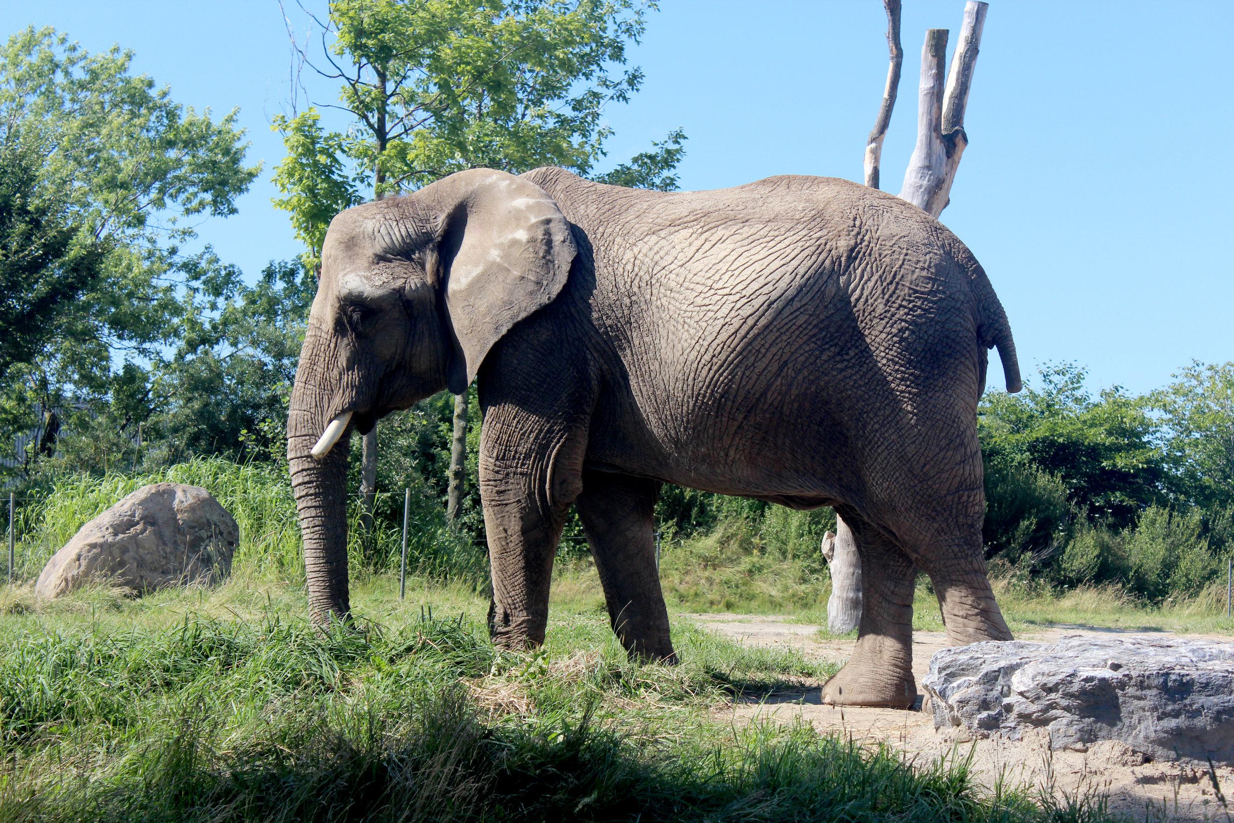 zoo de grandby elephant.jpg