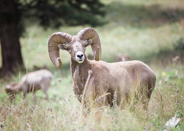 Bighorn Sheep.. This is the beauty of driving around MT wilderness.