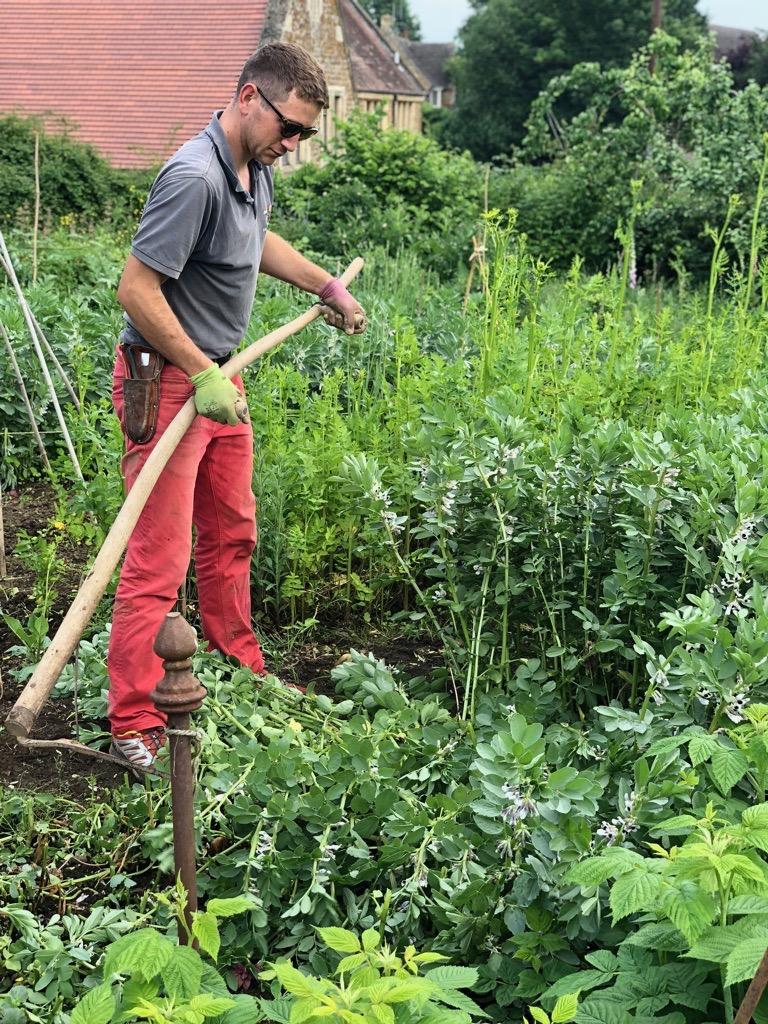 Cutting down field beans