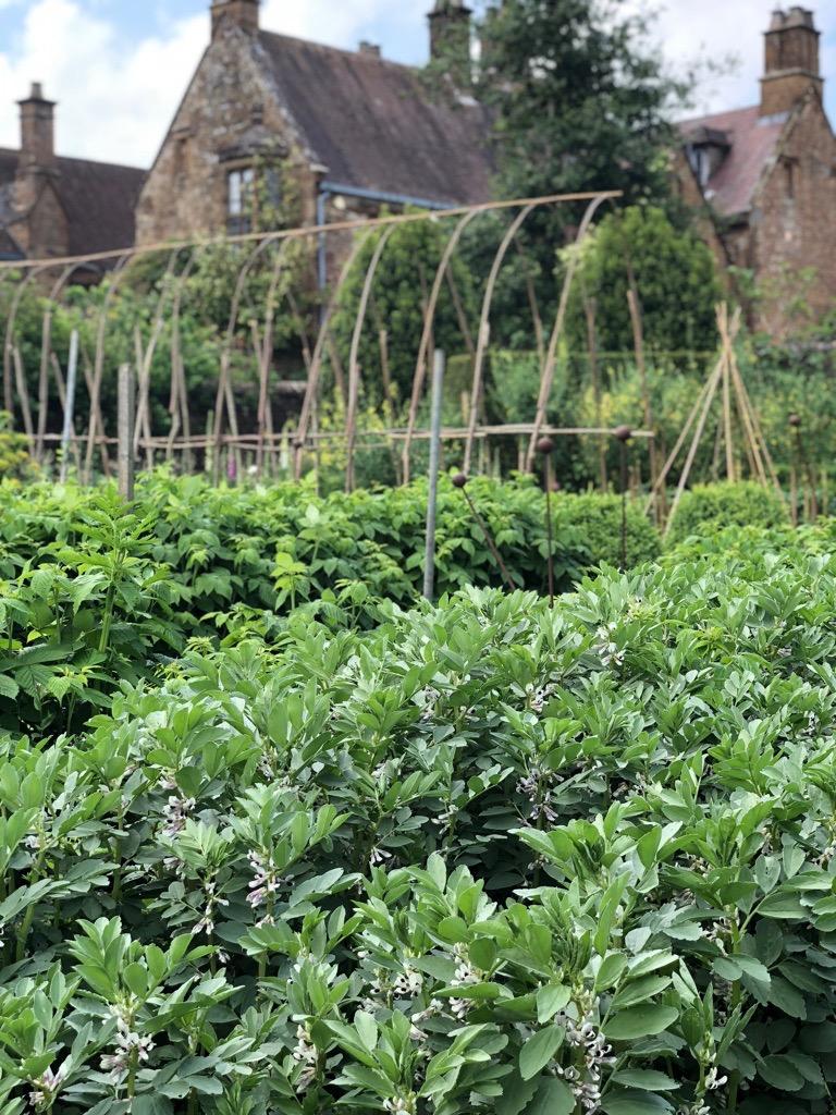 Field beans in walled garden