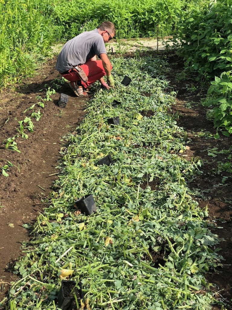 Planting Cosmos in mulched field beans