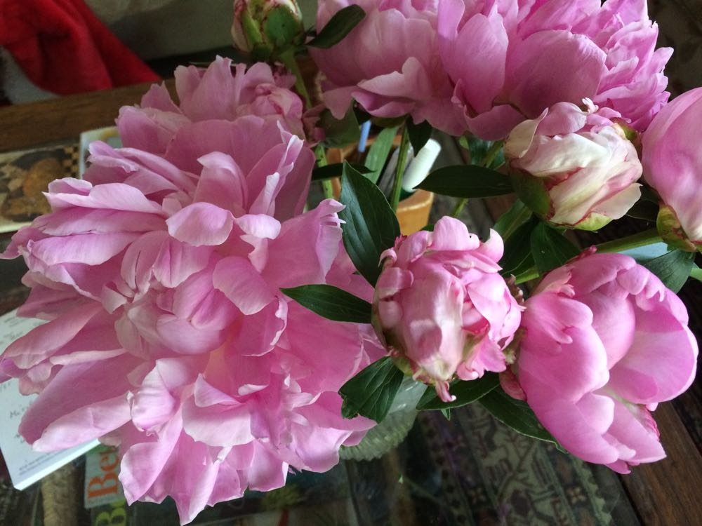 Bluebird Gardens peonies in bud and bloom on my den coffee table.