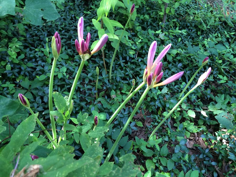 My surprise lily bulbs blooming into stalks with several buds per stalk.