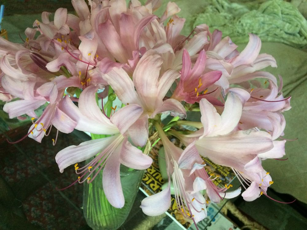 Cut surprise lilies make lovely scented gifts. Select tall bases to better display their long stalks.