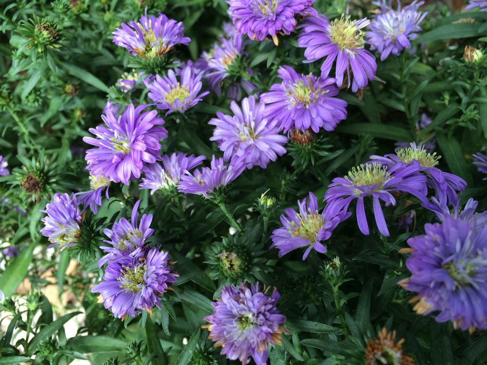 Purple asters add color when there is not much blooming at Bluebird Gardens.