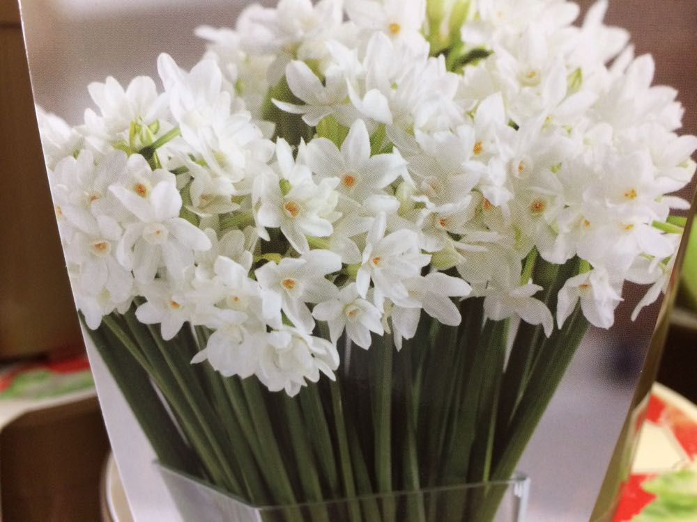Paperwhite narcissus bulbs are a popular holiday gift and very fragrant when in bloom.