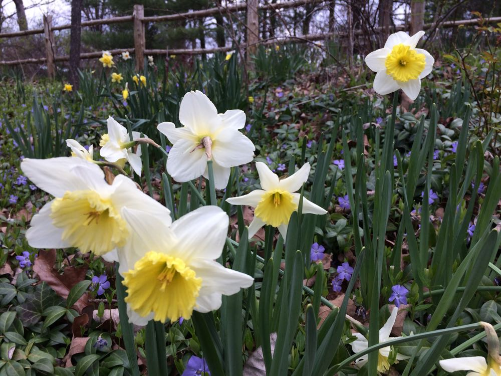 Daffodils blooming on my Missouri hillside at Bluebird Gardens.