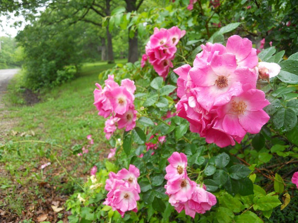Pink climbing roses growing across the street from Bluebird Gardens.
