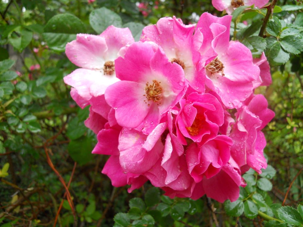 Cluster of pink climbing roses growing across the street from Bluebird Gardens.