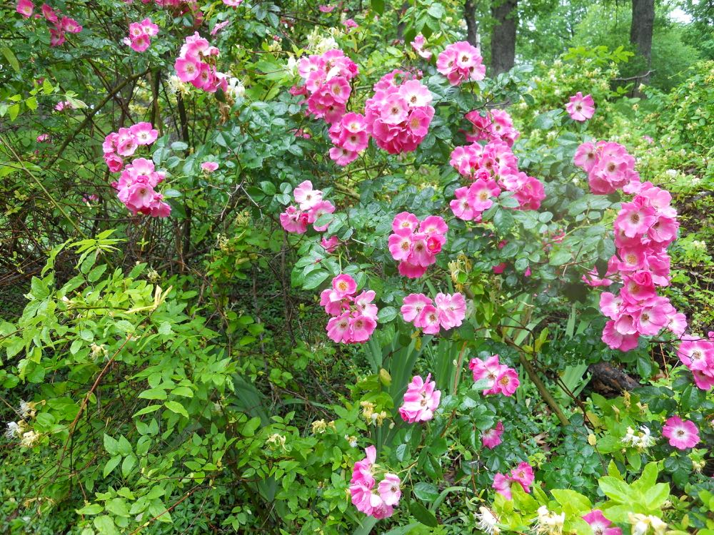 The pink climbing rose shrub that has formed over the years across the street.