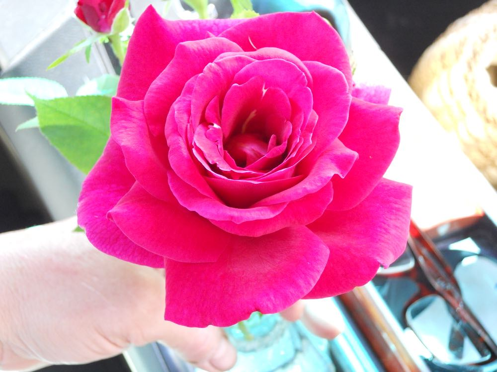 Mr. Lincoln hybrid tea rose has a wonderful scent and invites a sniff just because.