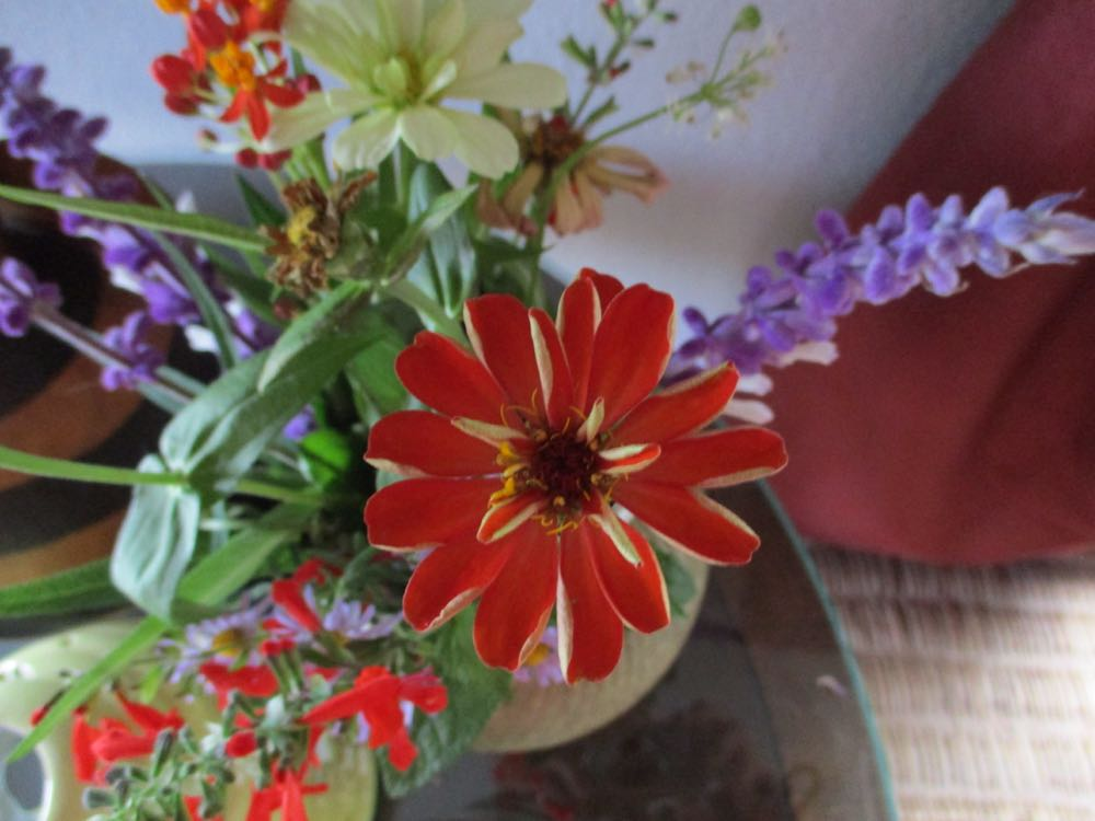 Zinnias make wonderful cut flowers, they can be cut still unfolding and will last a long time.