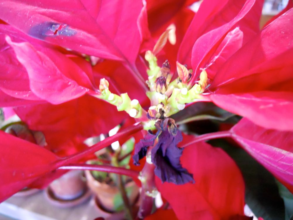 Poinsettia flowers are actually the little nibs on the inside of the leaves that have turned red.