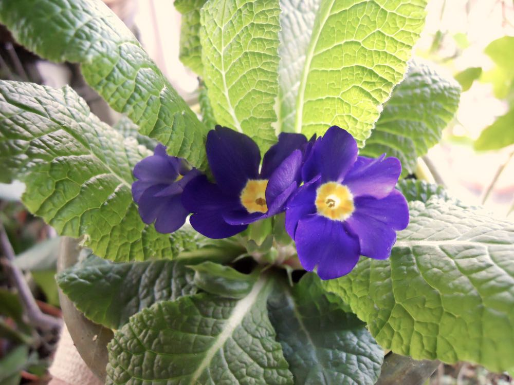 This was the only purple English primrose in the bunch of flowers on sale.
