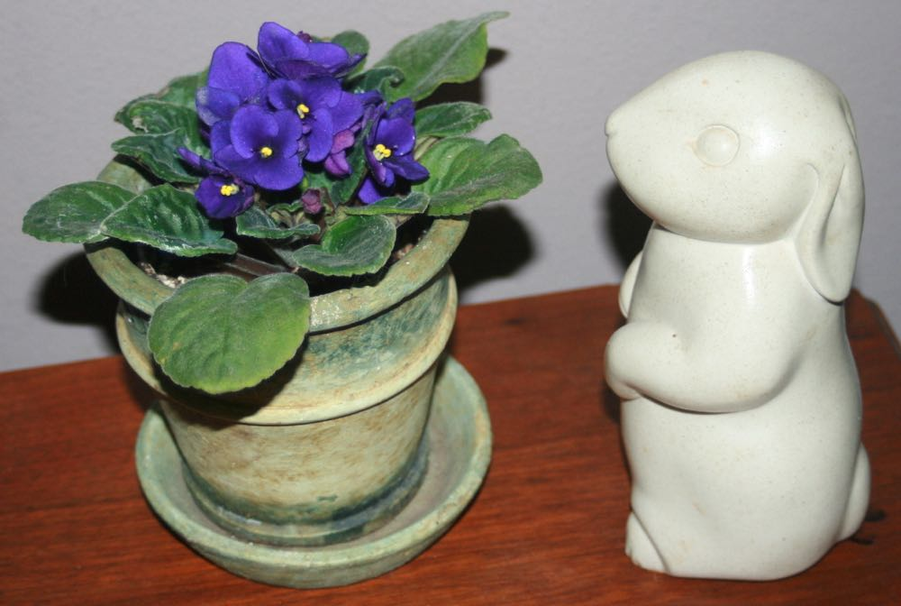 This little purple African violet has been with me for many years and almost blooms continuously.