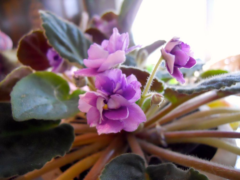 This is one of the older African violets, considered original. It's hardier and blooms continuously.