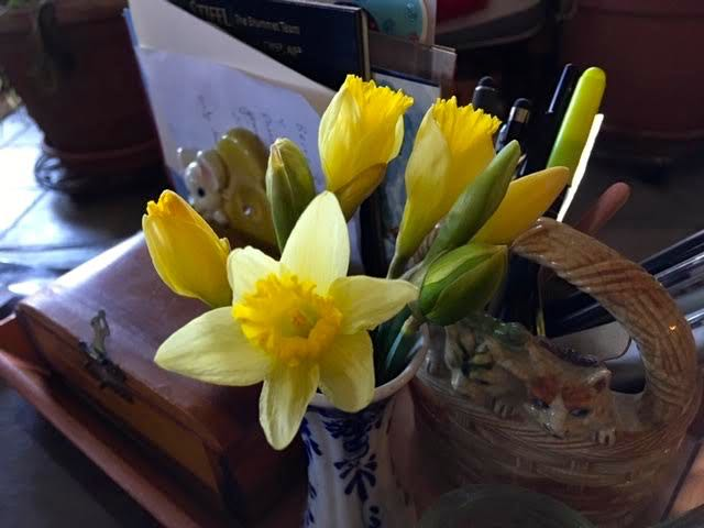 After 3 days from being picked, the early daffodils are starting to bloom. (Photo by Charlotte Ekker Wiggins)