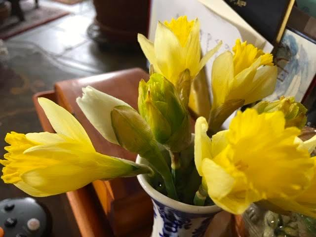 There's a third different kind of daffodil getting ready to bloom. (Photo by Charlotte Ekker Wiggins)