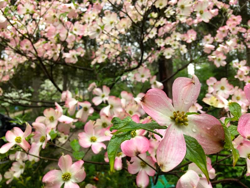 My pink dogwood tree now in bloom, a gift from a dear friend. (Photo by Charlotte Ekker Wiggins)