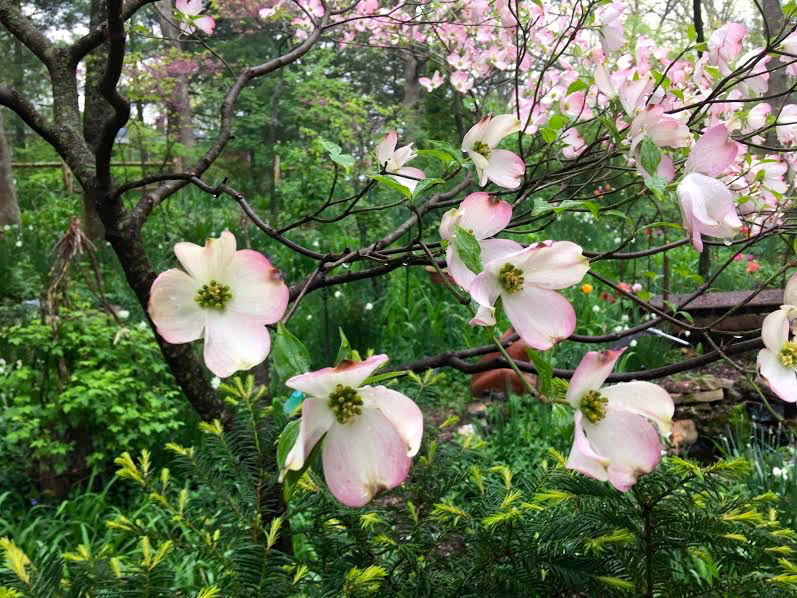 Similar to Missouri's state tree, the pink dogwood has added color on petal edges. (Photo by Charlotte Ekker Wiggins)