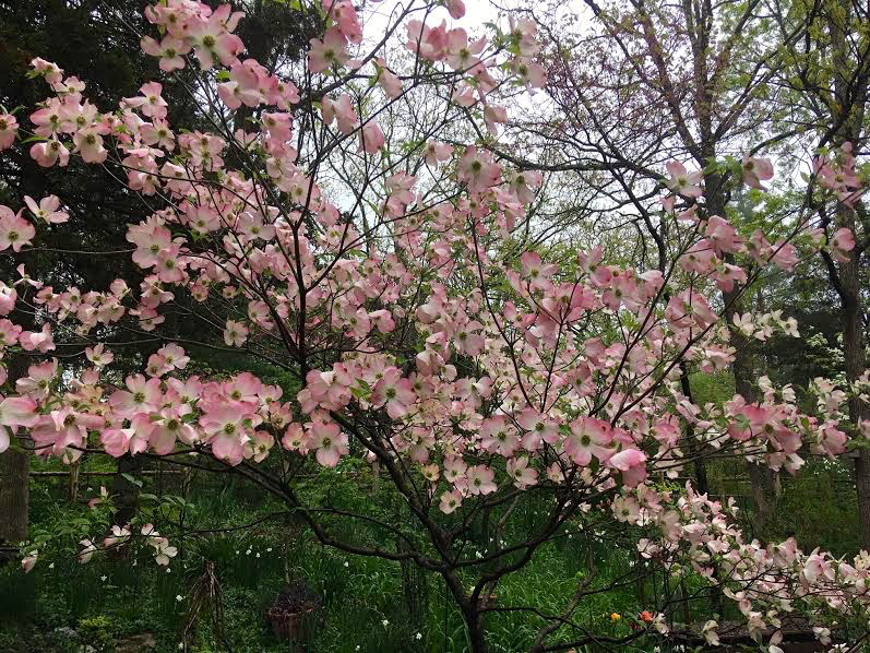 I planted the gift pink dogwood where it would welcome me home. (Photo by Charlotte Ekker Wiggins)