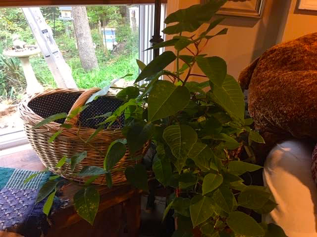 One of last year's poinsettias is now spending its days in the basement. (Photo by Charlotte Ekker Wiggins)
