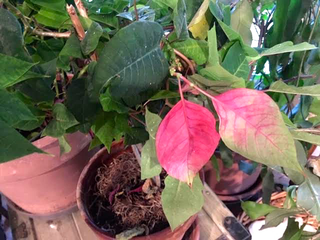 This little poinsettia still has a couple of red leaves from last year. (Photo by Charlotte Ekker Wiggins)