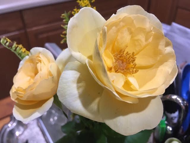 Once inside, the rose buds started slowly to unfold. (Photo by Charlotte Ekker Wiggins)
