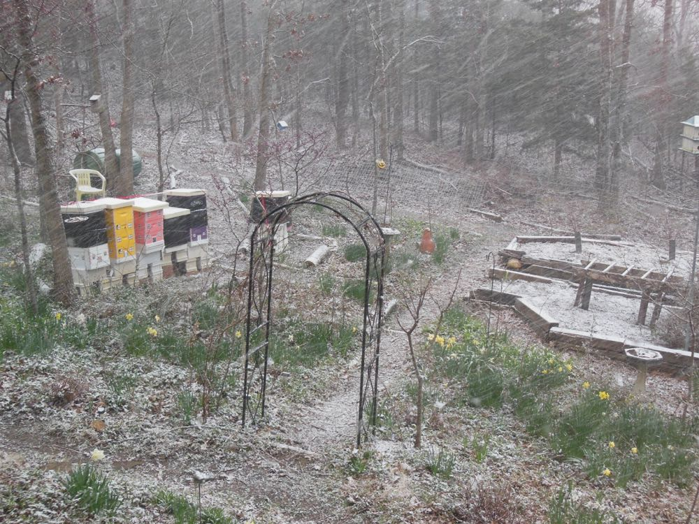 """Missouri welcomed spring 2016 with a good dusting of snow covering a """"sprung"""" garden."""