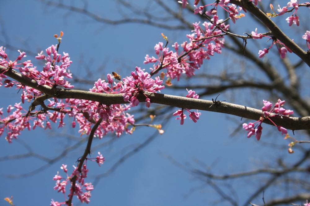 Flowering Eastern redbud attracts honeybees from Bluebird Gardens.